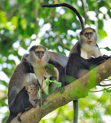 Monkeys in Boabeng Fiema